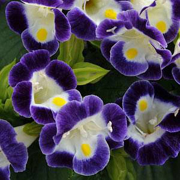 Wishbone flower Kauai Blue Torenia flowers
