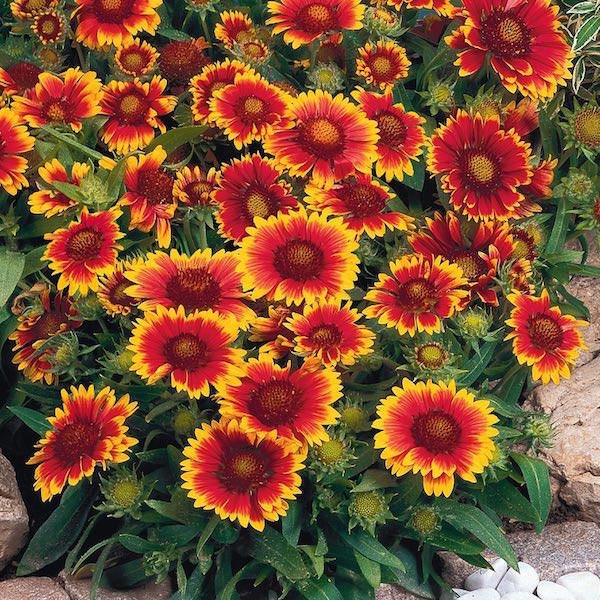 A trio of low maintenance perennial flowers swallowtail garden gaillardia has a soft rounded appearance fuzzy bright green foliage and masses of daisy like flowers in fiery reds yellows and oranges mightylinksfo