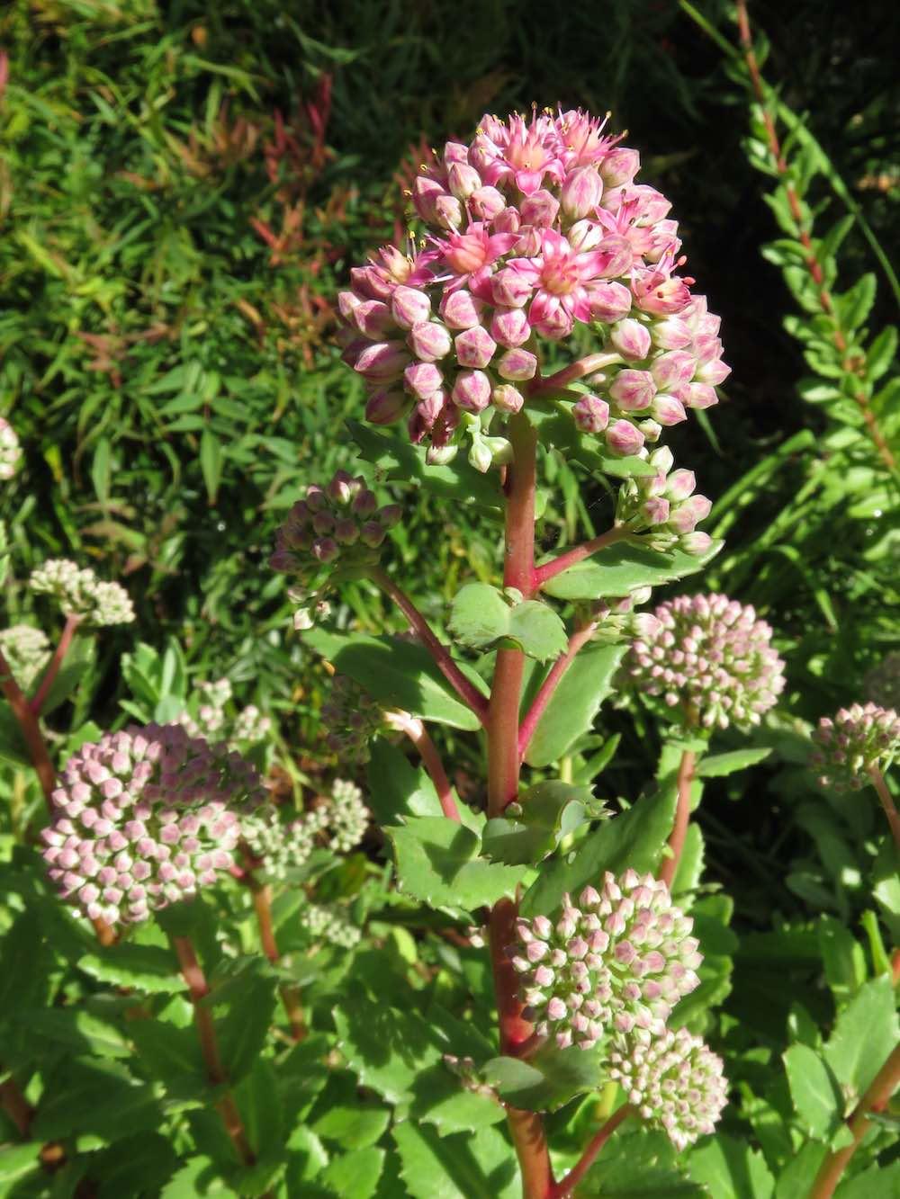 Succulent Sedum Swallowtail Garden Seeds Blog