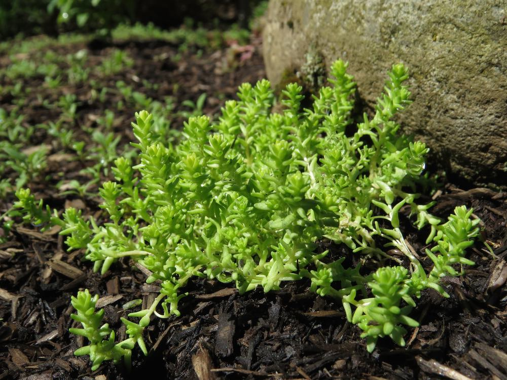 Succulent Sedum Swallowtail Garden Seeds Blog