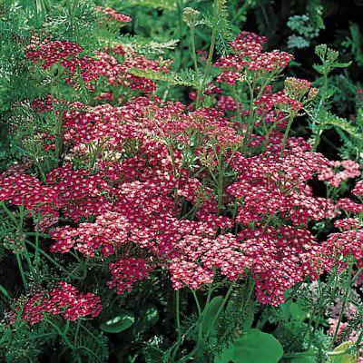 Yarrow Cerise Queen - Achillea millefolium