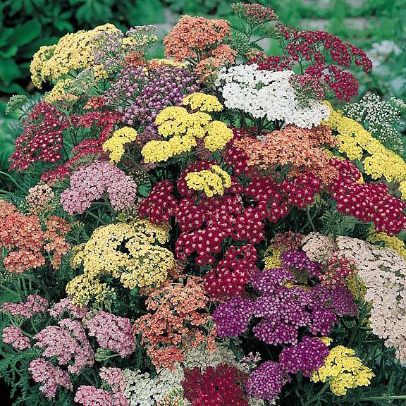 Yarrow Summer Pastels - Achillea millefolium