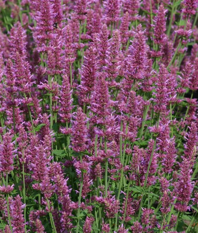 Agastache, Arcado Pink flower - perennial flower seeds