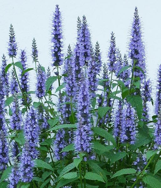 Astello Indigo agastache
