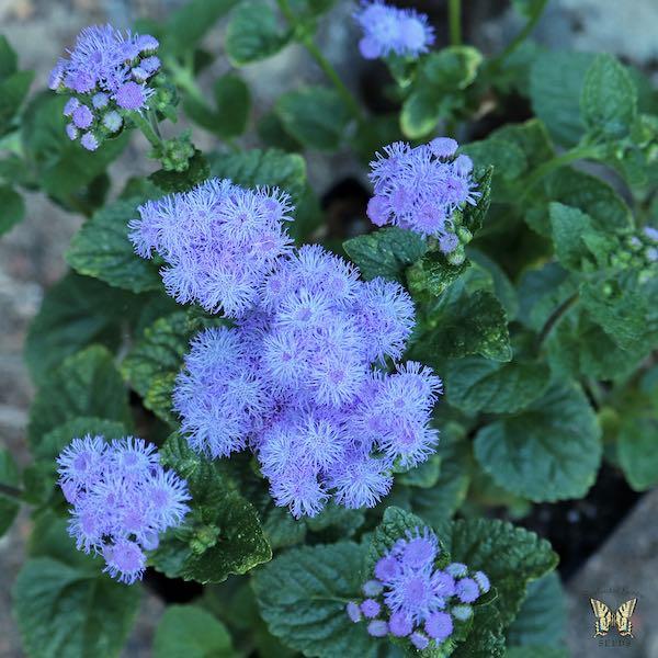 Ageratum Blue Horizon flower