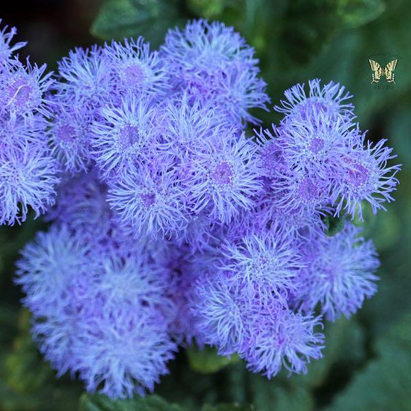 Ageratum Blue Horizon flowers