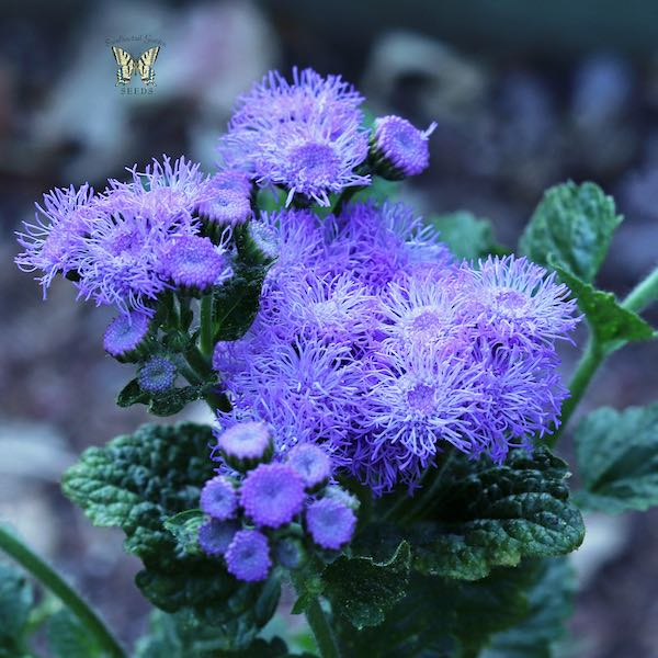 Ageratum Blue Horizon seeds