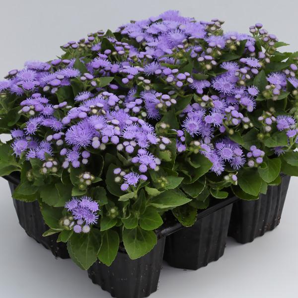 Cloud Nine Blue floss flower seeds
