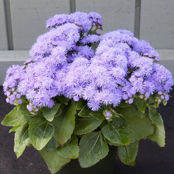 Ageratum Cloud Nine Blue seeds