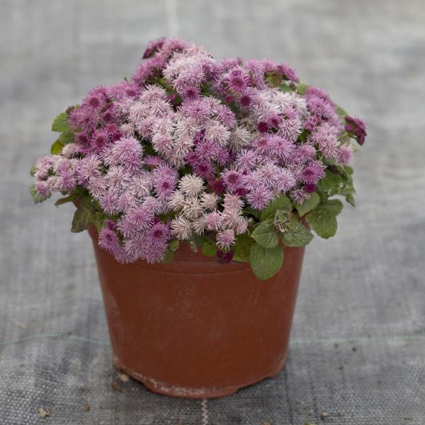 Cloud Nine Pink floss flower seeds