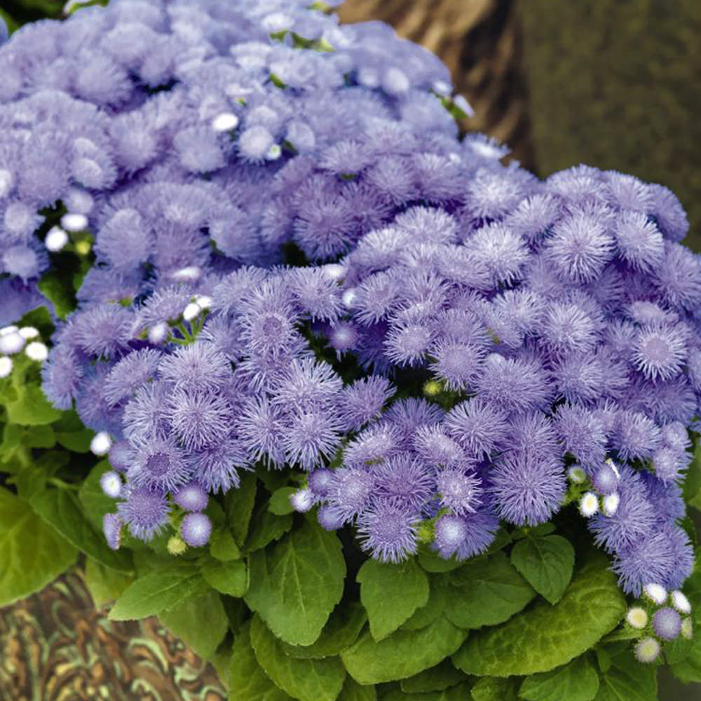 Top 28 small blue annual flowers southern california for Best flowers to grow in california