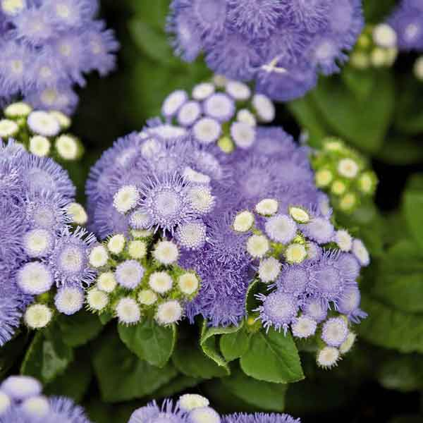 Ageratum Seeds How to Grow Floss Flower Annual Flower Seeds