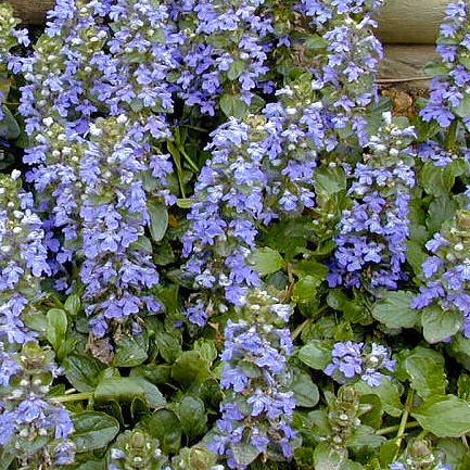 Ajuga reptans flowers