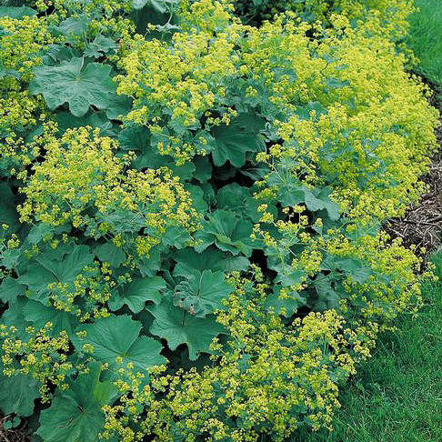 Lady's Mantle Thriller - Alchemilla mollis