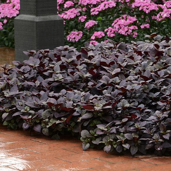 Purple Prince alternanthera ground cover