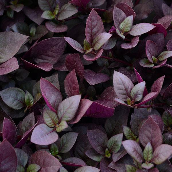 Purple Prince alternanthera seeds