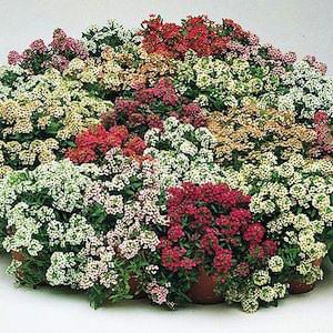Alyssum Aphrodite Formula Mix - Annual Flower Seeds