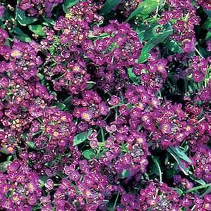 Alyssum Aphrodite Regal Violet - Annual Flower Seeds