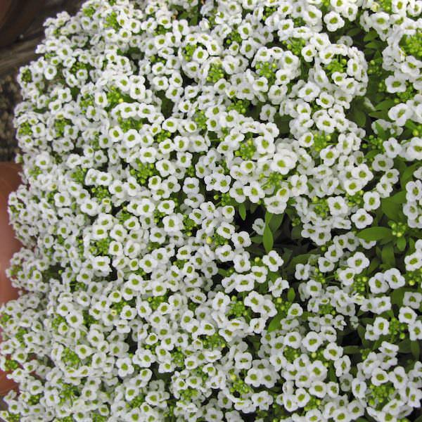 Giga White Alyssum - Annual Flower Seeds