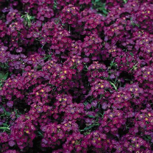 Alyssum Seeds Sweet Alyssum Annual Flower Seeds S G S