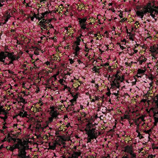 Alyssum Wonderland Deep Rose