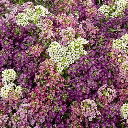 Lobularia Wonderland Mix alyssum