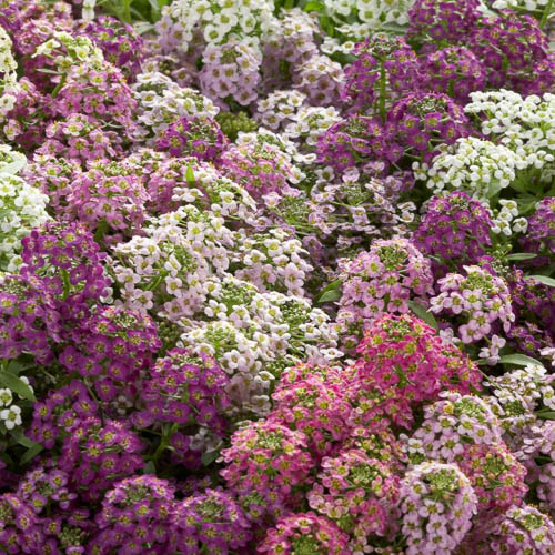 Alyssum Wonderland Mix - Lobularia-maritima