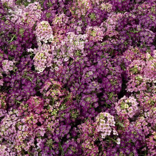 Alyssum Wonderland Mix