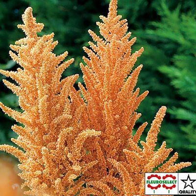Amaranthus Hot Biscuits annual flower seeds