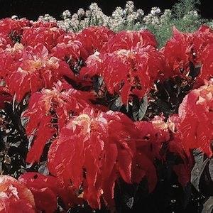 Illumination amaranthus seeds