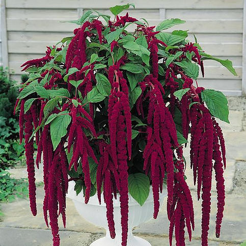 Love-lies-bleeding amaranthus seeds