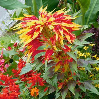 Amaranthus Perfecta annual flower seeds