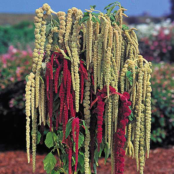 Amaranthus Pony Tails Mixed annual flower seeds
