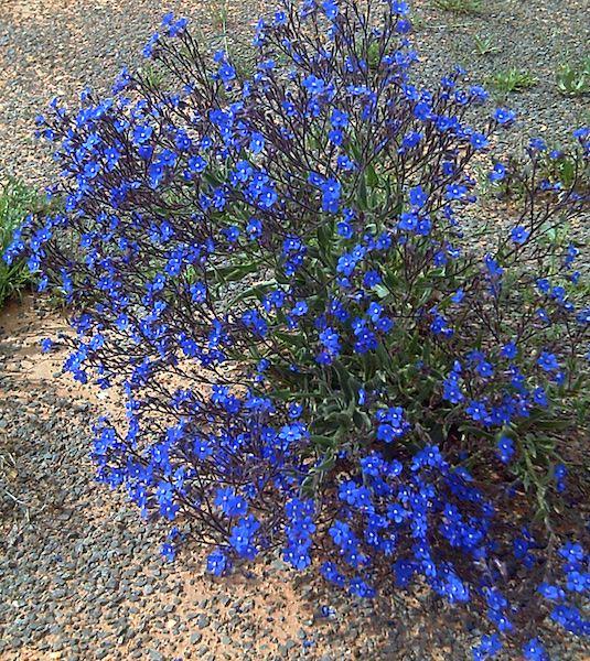 Anchusa Italian bugloss - Anchusa azurea