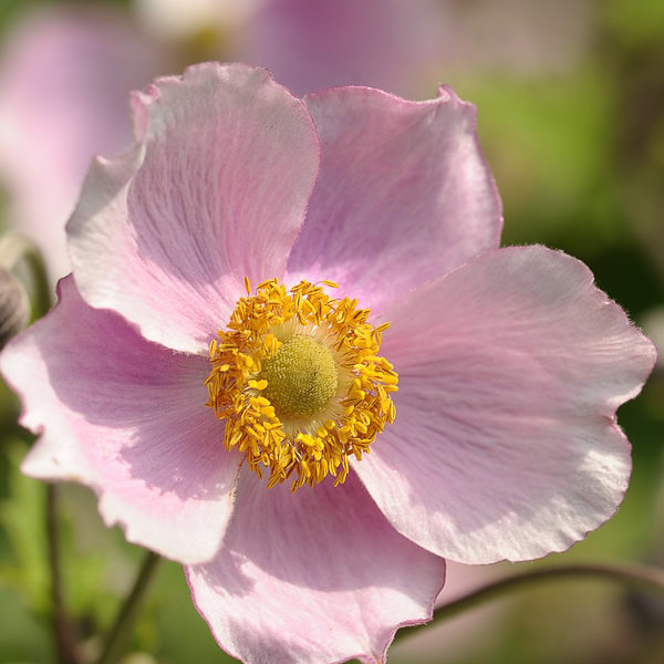 Anemone hupehensis Pink Saucer