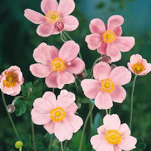 Pink Saucer Japanese Anemome