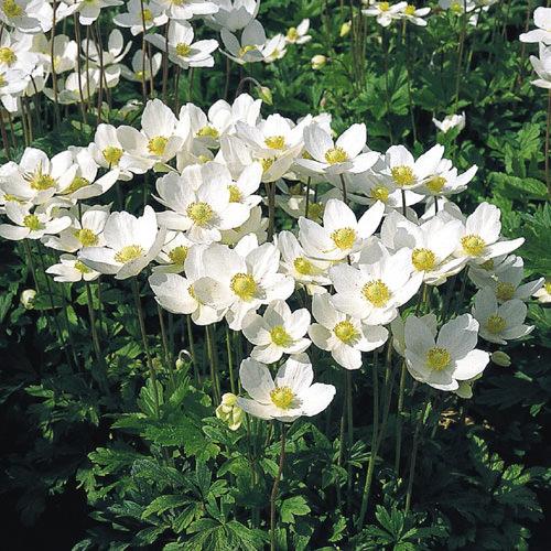 Anemone Seeds Perennial Flowers Swallowtail Garden Seeds