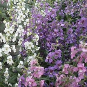 Serena Mix angelonia seeds