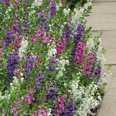 Serenita Mix Angelonia Five flower color mix