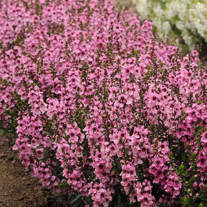 Serenita Pink angelonia seeds