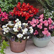 Begonias Bada Boom Series