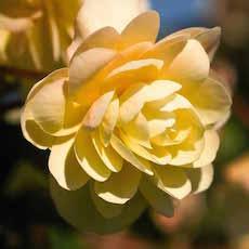 Begonias Illumination Series