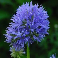 Blue Thimble Flowers