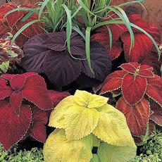 Coleus Giant Exhibition Mix - Bulk Flower Seeds