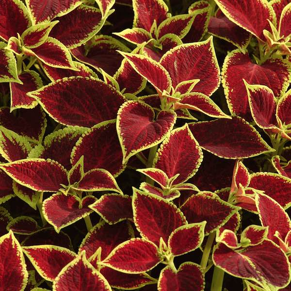 Coleus Premium Sun Crimson Gold flower garden seeds