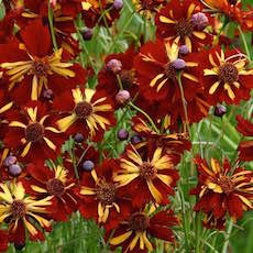 Annual Coreopsis