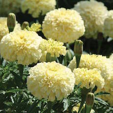 Marigold seeds 17 african french marigolds annual flower seeds favorite marigold mightylinksfo