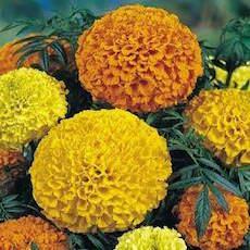 Double Carnation type marigold