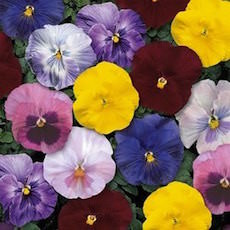 Pansy, Delta series