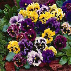 Pansy, Frizzle Sizzle series